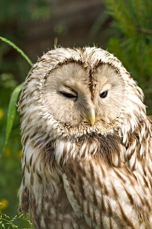 Tawny Owl macro