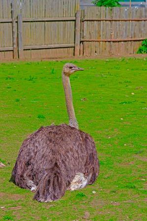 Australian emu close-up
