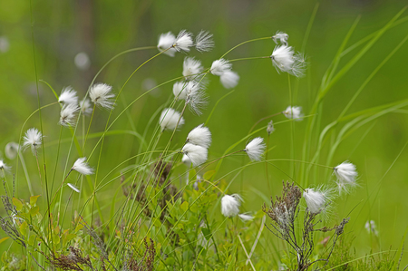 Arctic herb marsh plant