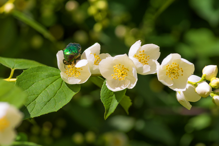 Chafer on a white jasmine flower