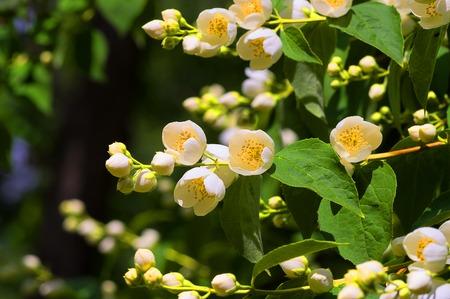 White flowers Jasmine Stock Photo