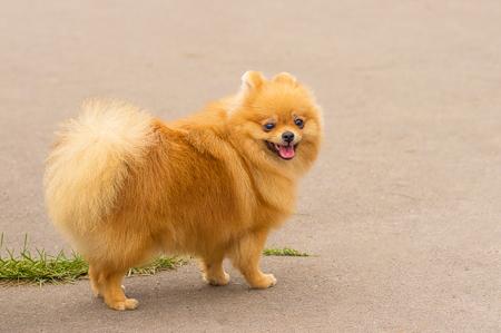 犬のスピッツのクローズ アップ 写真素材 - 83700668