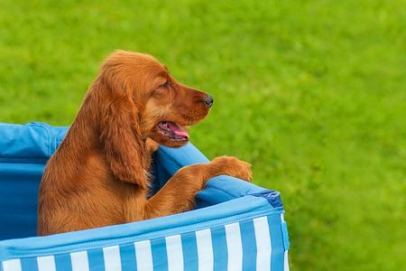 Bloodhound Puppy close-up