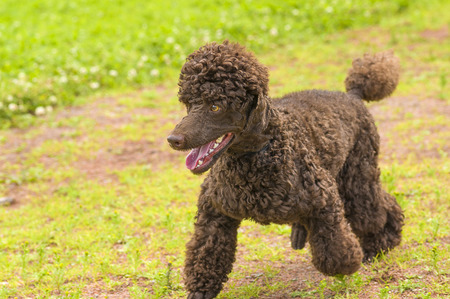miniature breed: Dog Poodle close-up