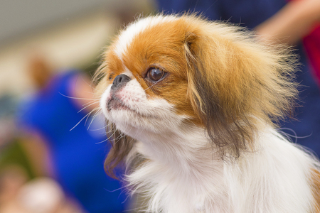 Pekingese dog Close-up Stock Photo