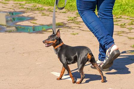 Doberman Pinscher dog close-up