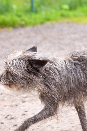 miniature breed: Chinese Crested Dog