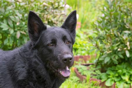 Caucasian Shepherd Dog Stock Photo