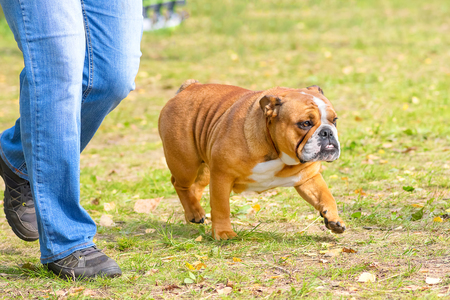 English Bulldog is a short-haired breed of mastiff type dogs. Against the background of a green blurred grass. Space under the text. 2018 year of the dog in the eastern calendar. Concept: parodist dogs, dog friend of man, true friends, rescuers. Stock Photo