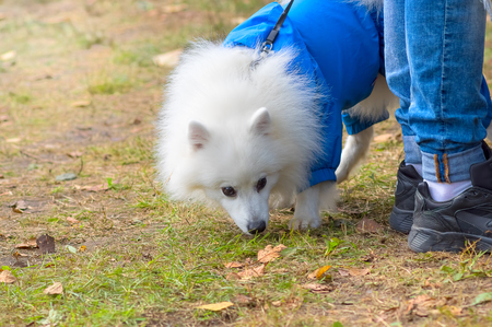 miniature breed: White fluffy dog in blue combenison. Small dog close-up. Concept: cute, home, friend, love, affection, kindness, care. Space under the text. 2018 year of the dog in the eastern calendar