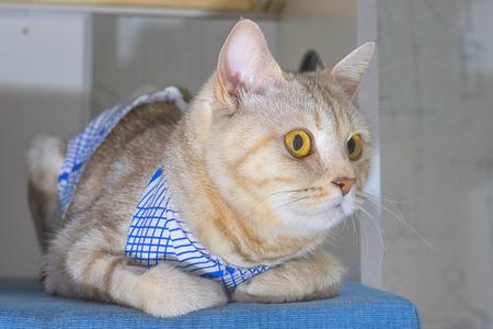 British Shorthair cat Close-up