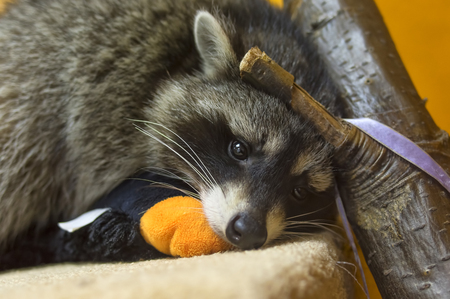 raccoon head close up