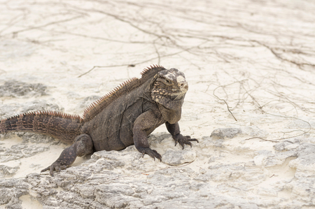 Large scaly Iguana close-up against a background of sand