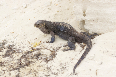 Iguana, a large lizard feeds on plant food, has a long scaly tail and clawed legs. Similar to a dinosaur, a lizard or dragon