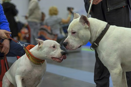 Two white fighting dogs sniff each other close-up Standard-Bild