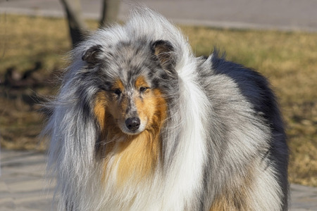 Collie, group of breeds of shepherd dogs originating from Scotland. Space under the text. Concept: parodist dogs, dog friend of man, true friends, rescuers. Stock Photo