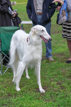 Greyhound dog with long white hair close-up Stok Fotoğraf