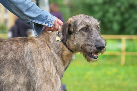 Irish Wolfhound is a breed of hunting dogs. One of the biggest d