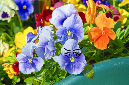 Humor, pansy flower climbs into the pelvis