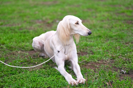 Saluki Persian white hunting dog lies on the green grass