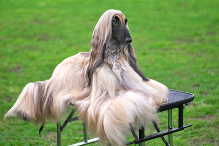 Afghan Hound Elegant Longhair Dog Nahaufnahme Standard-Bild