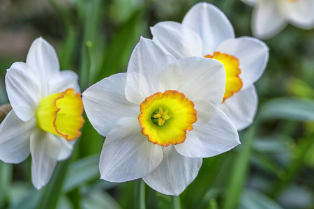 White daffodils with a yellow middle on the background of green leaves