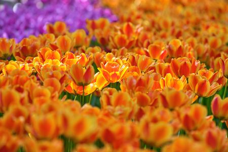 A field of orange tulips on a sunny day. Concept Spring Stockfoto - 128534356