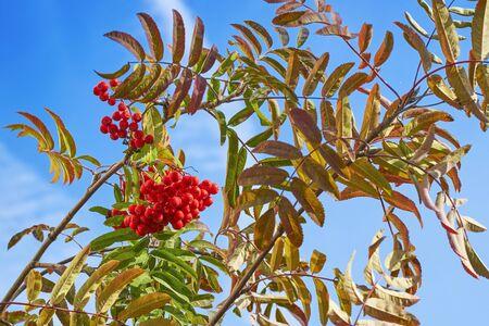 Large berries of red rowan against the blue sky 写真素材