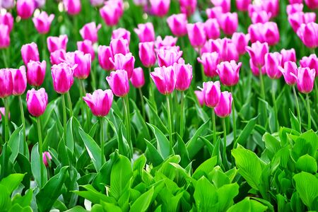 White-pink tulips on a sunny day on a green background. Concept Spring