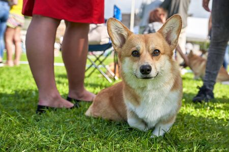 Welsh Corgi small dog with short legs, looking at the camera. The concept is cute, home, friend, love, affection, kindness, care 写真素材
