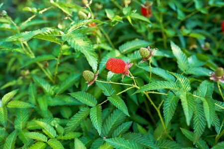 Tibetan strawberry raspberry, berry. Roseleaf raspberry or Rubus rosifolius. Close up on background of leaves