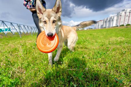 Husky dog ran to the camera with his toy, sunny summer day, closeup Foto de archivo - 133384166