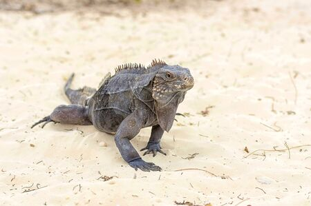 Iguana, a large lizard. Long scaly tail and clawed legs. Similar to a dinosaur, a lizard or dragon, close up