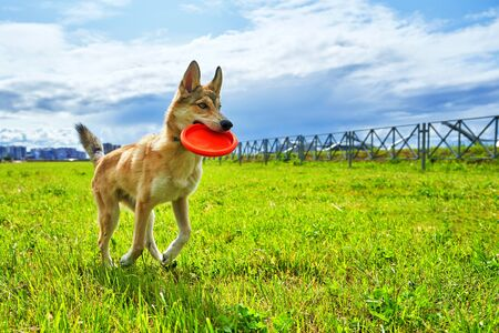 The dog runs along the green grass with an orange disk in its mouth. Dog training on a summer day