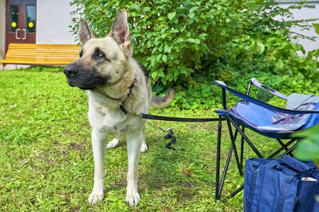 A service dog of the East European Shepherd breed guards the owner's belongings. Concept: friend, protection, loyalty, vigilance, security Foto de archivo - 133384153