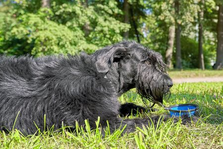 Big black dog Giant Schnauzer lies on the grass in front of a bowl of water Foto de archivo - 133384169