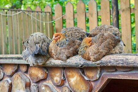 Variegated chickens sit on an open wooden flooring, village life on a chicken farm on a sunny summer day