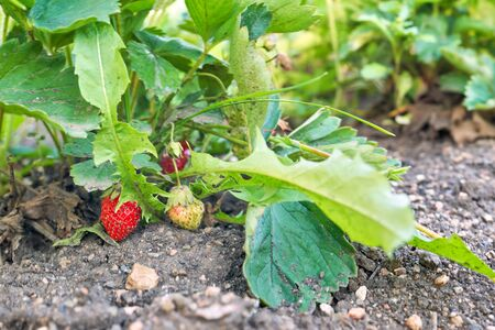 Red strawberries grow on a bed among green leaves. Berries touch the ground Foto de archivo - 133474041