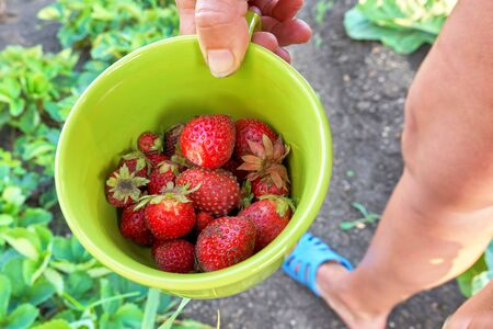 Red strawberries are plucked from the garden, harvesting in the village. Cup with fresh strawberries Foto de archivo - 133474044