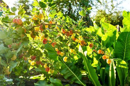 Ripe gooseberries grow on a bush in the sun, rural garden and home farming Foto de archivo - 133474045