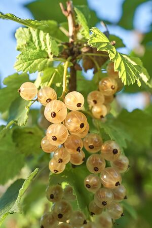 Bunches of berries White currant on a bush. A vertical frame of a fragment of a bush of currant with white berries. Foto de archivo - 133474050