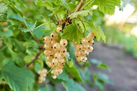 White currant berries grow on a bush with green leaves. Bunches of berries in the sun, close-up Foto de archivo - 133473473