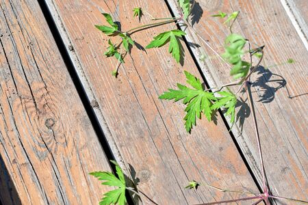 A cannabis-like plant lies on old planks on a sunny summer day Foto de archivo - 133473478