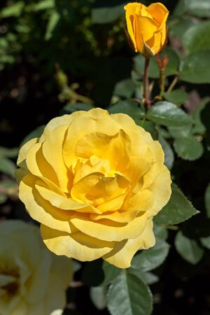 Yellow blossoming rose on a sunny day against a background of shaded green leaves Foto de archivo - 133473483