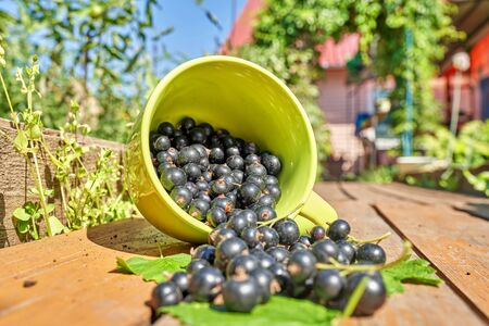 Berries of black currant spill out of a green cup on wooden boards, against the backdrop of the garden on a sunny day Foto de archivo - 134548925