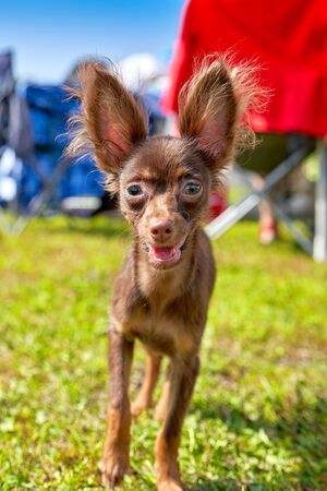 Small decorative dog with big ears looking at the camera. Concept of parody, dog lovers, friends, mercy Foto de archivo - 134548929