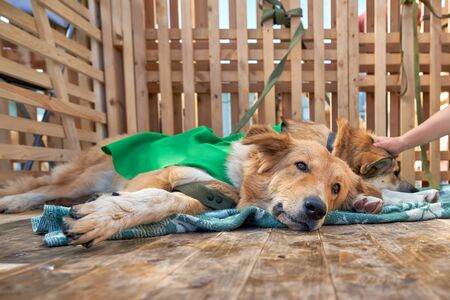 Dog shelter, the dog lies on the bedding and looks into the camera with a sad look. Wooden cage with a floor