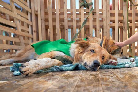 Refugio para perros, el perro se acuesta en la cama y mira a la cámara con una mirada triste. Jaula de madera con piso