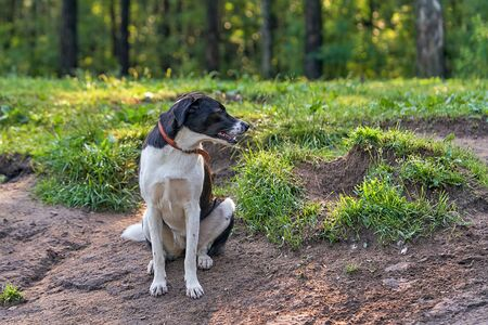 Portrait of a black hunting dog with drop ears. Sitting on the ground and looking sideways with his mouth open. Close-up on background of green grass Zdjęcie Seryjne