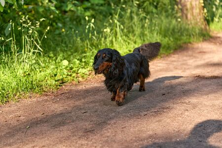 Long-haired Dachshund runs on a forest road on a background of green grass. Sunny summer day, the average plan Archivio Fotografico
